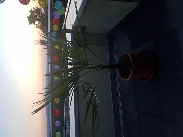 wieviel liter wasser braucht die trachycarpus palme in. Black Bedroom Furniture Sets. Home Design Ideas
