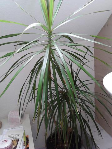 Wieviel Wasser braucht diese Palme? (Pflanzen, Blumen, Botanik)