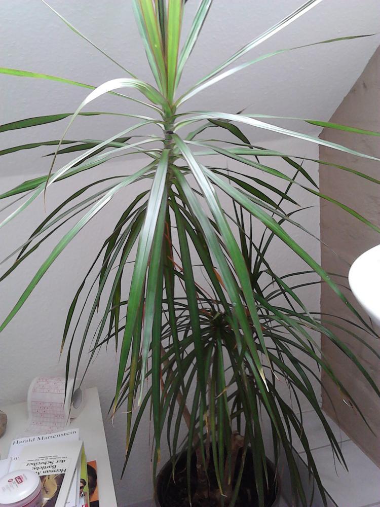 wieviel wasser braucht diese palme pflanzen blumen botanik. Black Bedroom Furniture Sets. Home Design Ideas