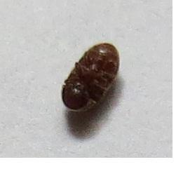 Der Käfer - (Kaefer, Ungeziefer)
