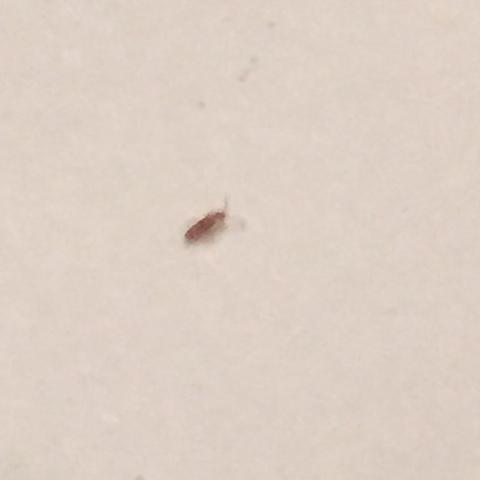 Beschreibung  - (Insekten, Käfer)