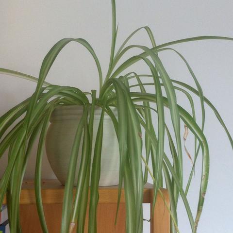 Zimmer Pflanze - (Pflanzen, Giessen)