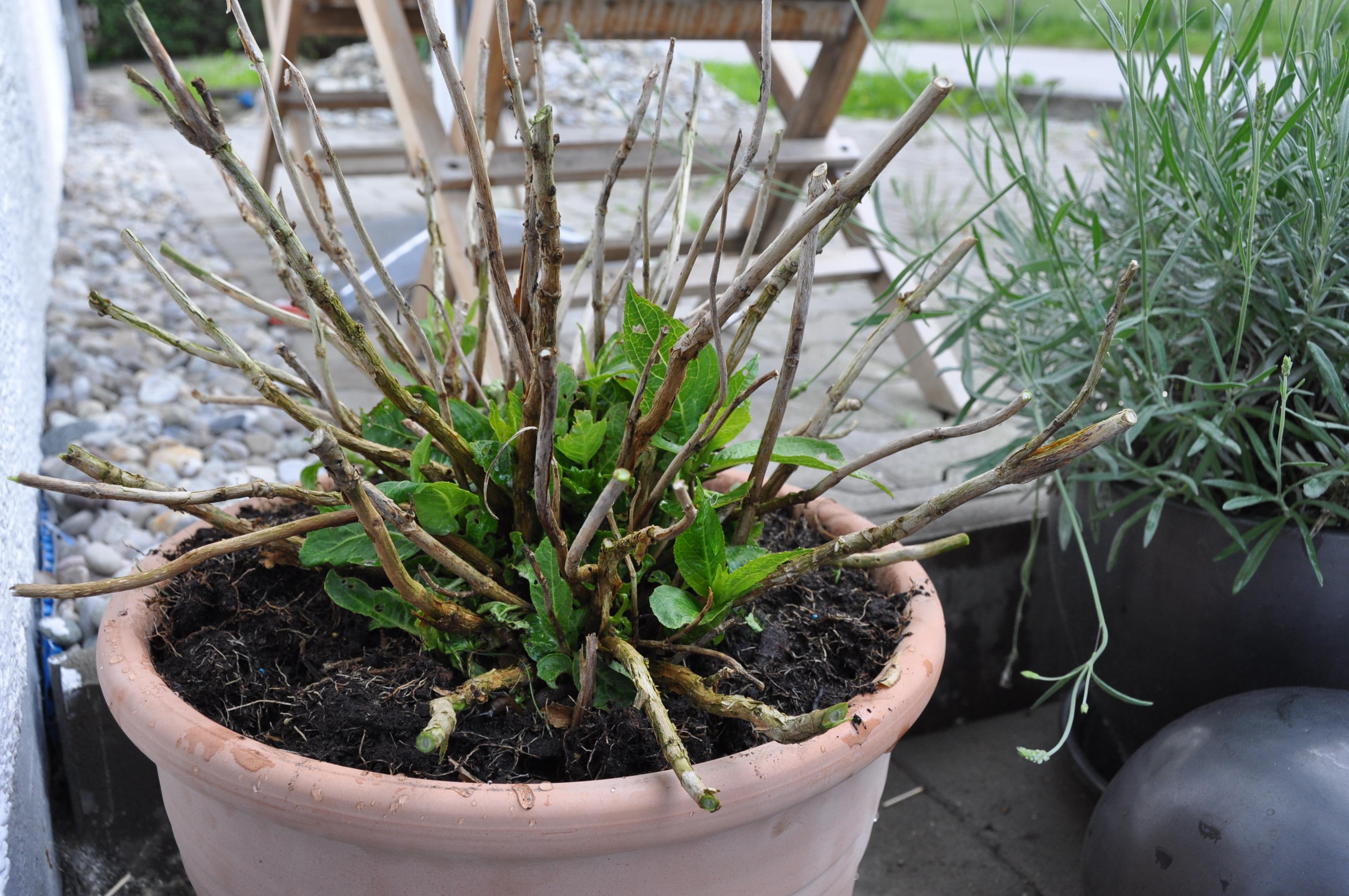 Wird Die Hortensie Wieder? (Garten, Bluete, Hortensien