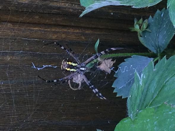 welche spinnenart? - (Art, Spinne)