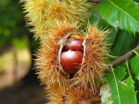 Frucht der Edelkastanie - (Berlin, sammeln, maronen)