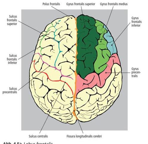 Wo genau liegt das Handareal des primären motorischen Cortex ...