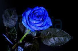 wo in der schweiz kann man blaue rosen kaufen farbe blau deko. Black Bedroom Furniture Sets. Home Design Ideas