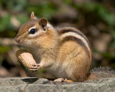 Chipmunk - (Streifen, Hörnchen)