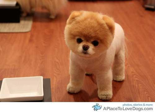 Hier der Pomeranian Puppy Boo (: - (Hund, kaufen, Welpen)
