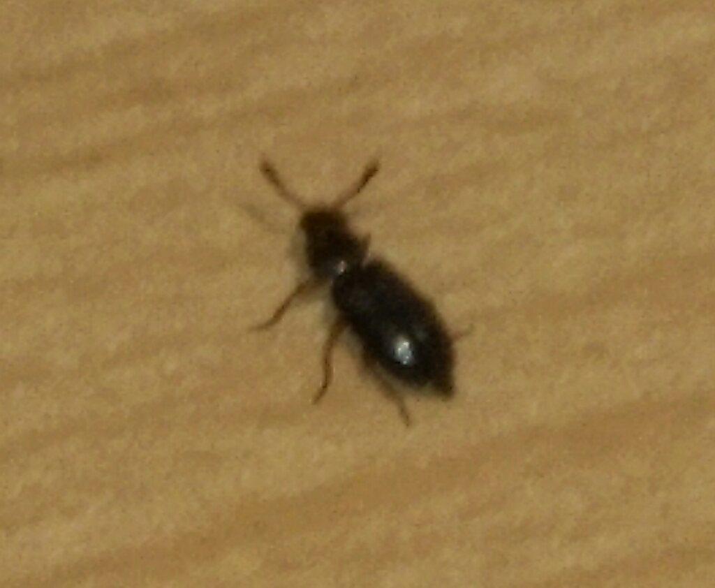Woher kommen diese k fer insekten kaefer wie loswerden for Kleine schwarze fliegen in der blumenerde