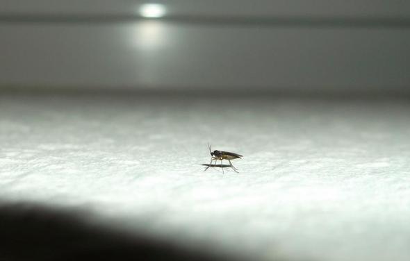 woher kommen diese kleinen fliegen in unserem haus insekten ungeziefer minifliegen. Black Bedroom Furniture Sets. Home Design Ideas