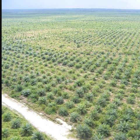 Palmölplantage - (Menschen, Regenwald, Wieso)