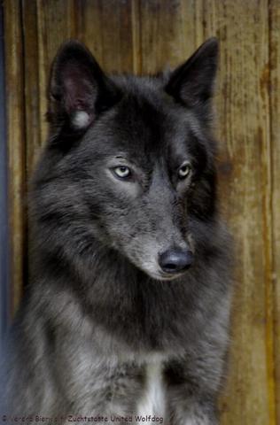 wolfshunde rassen etc hund rasse w lfe. Black Bedroom Furniture Sets. Home Design Ideas
