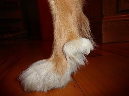 Wolfskralle - (Hund, Tierarzt, Tiermedizin)