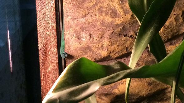So sieht er aus  - (Reptilien, Gecko)