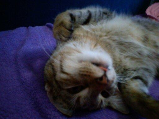 Mia beim schlafen - (Schwangerschaft, Katze, Verhalten)