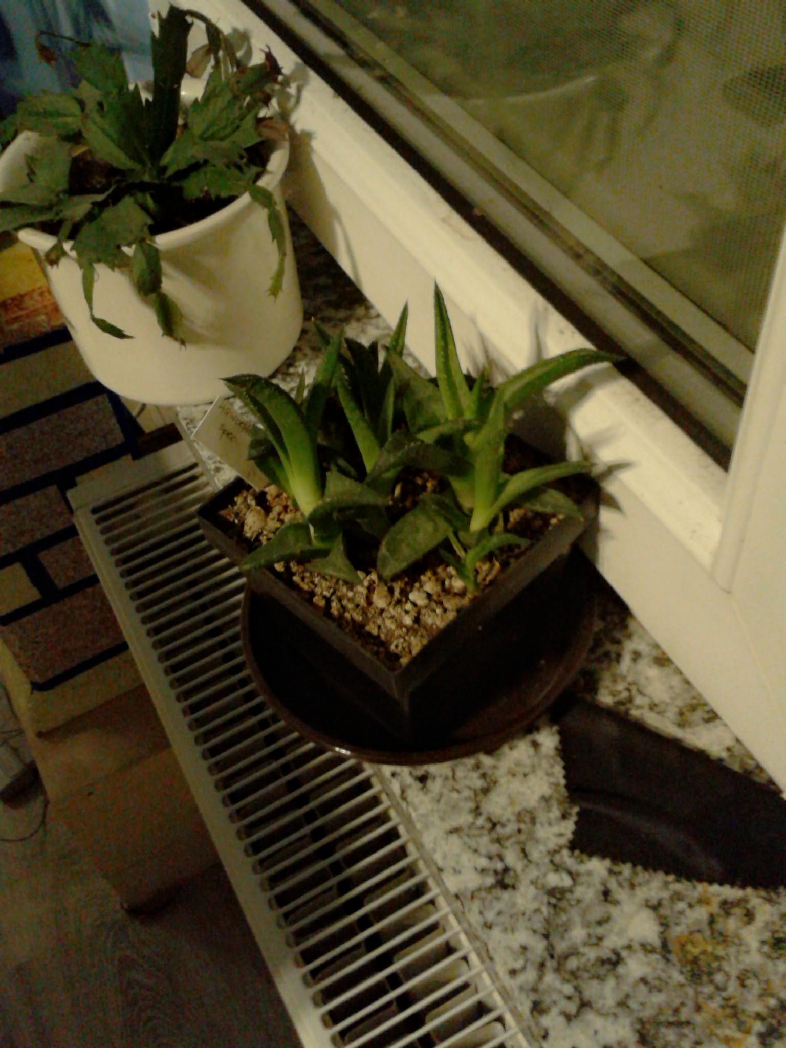 woran erkenne ich wann ein kaktus wasser braucht. Black Bedroom Furniture Sets. Home Design Ideas