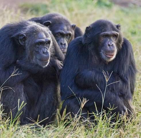 Würden Affen davonlaufen oder angreifen?