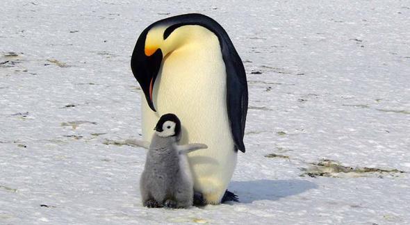 Würdet Ihr gerne als Pinguin leben, wenn Ihr könntet?