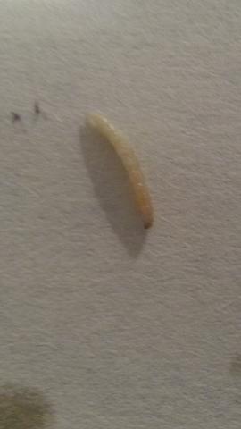 Würmer im Essen wahrscheinlich auch gegessen bitte Schelle Hilfe ...