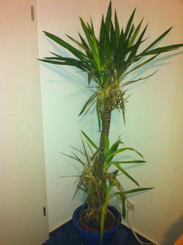 Yucca Palme - (Pflanzen, Pflanzenpflege)