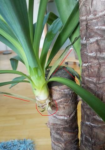 yucca palme zu wenig wasser pflanzen pflanzenpflege. Black Bedroom Furniture Sets. Home Design Ideas