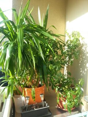 hoffe man kann es sehen - (bitte um hilfe, yucca wächst schief)