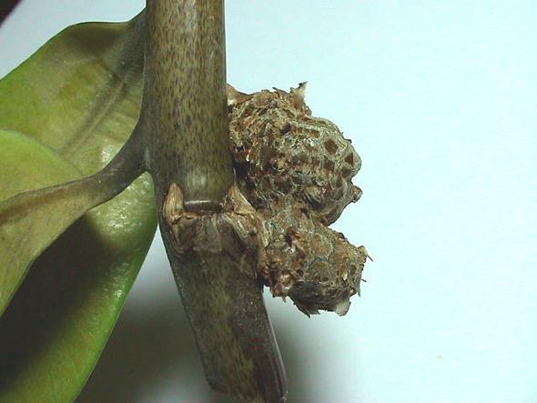 Wucherung an Zamioculcas 2 - (Pflanzen, Blumen, Zimmerpflanzen)