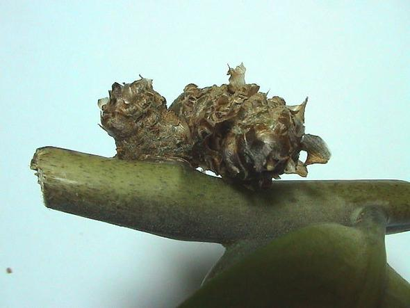 Wucherung an Zamioculcas 3 - (Pflanzen, Blumen, Zimmerpflanzen)