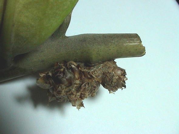 Wucherung an Zamioculcas 4 - (Pflanzen, Blumen, Zimmerpflanzen)