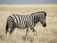 Zebra1 - (Fell, zebra)