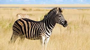 Zebra2 - (Fell, zebra)