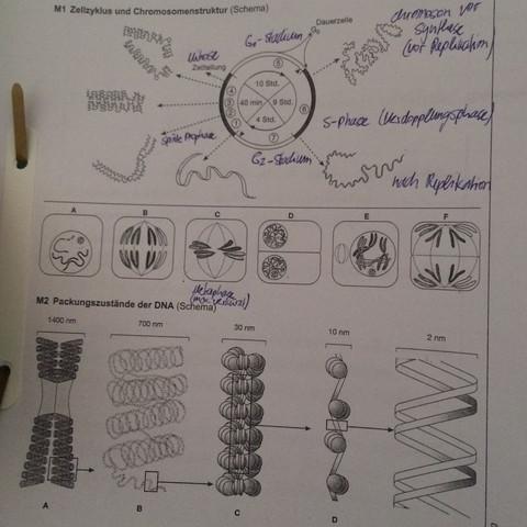 Abbildung  - (Schule, Biologie, Genetik)