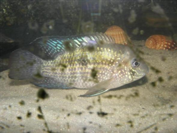 Zierfische geschlechter und art bestimmen aquarium for Zierfische barsch