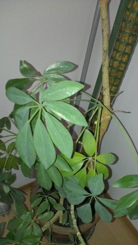 Zimmerpflanze bestimmen wer kennt sich aus pflanzen zimmerpflanzen - Bluhende zimmerpflanzen bestimmen ...