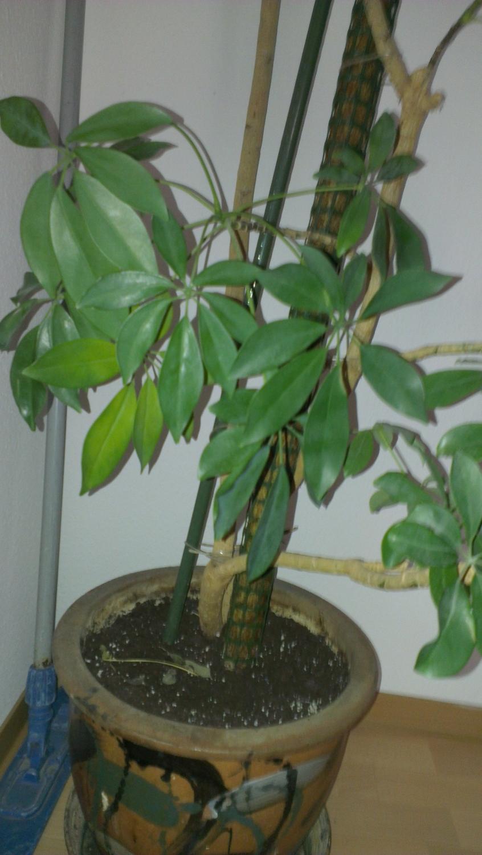 Zimmerpflanze bestimmen wer kennt sich aus pflanzen zimmerpflanzen - Zimmerpflanzen bestimmen ...