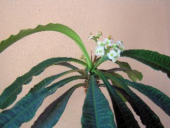 zimmerpflanze bestimmen zimmerpflanzen pflanzenbestimmung. Black Bedroom Furniture Sets. Home Design Ideas