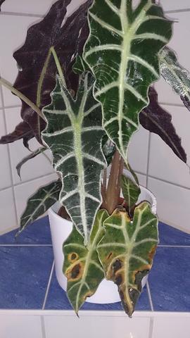 Alokasie - (Pflanzen, Blumen, Botanik)