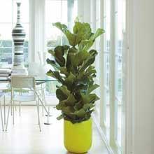 Name gesucht - (Pflanzen, Zimmerpflanzen)