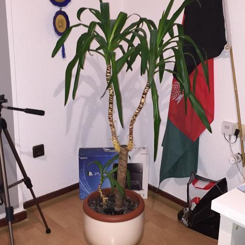 Vielleicht kennt sich da jemand aus - (Botanik, Zimmerpflanzen, Palme)