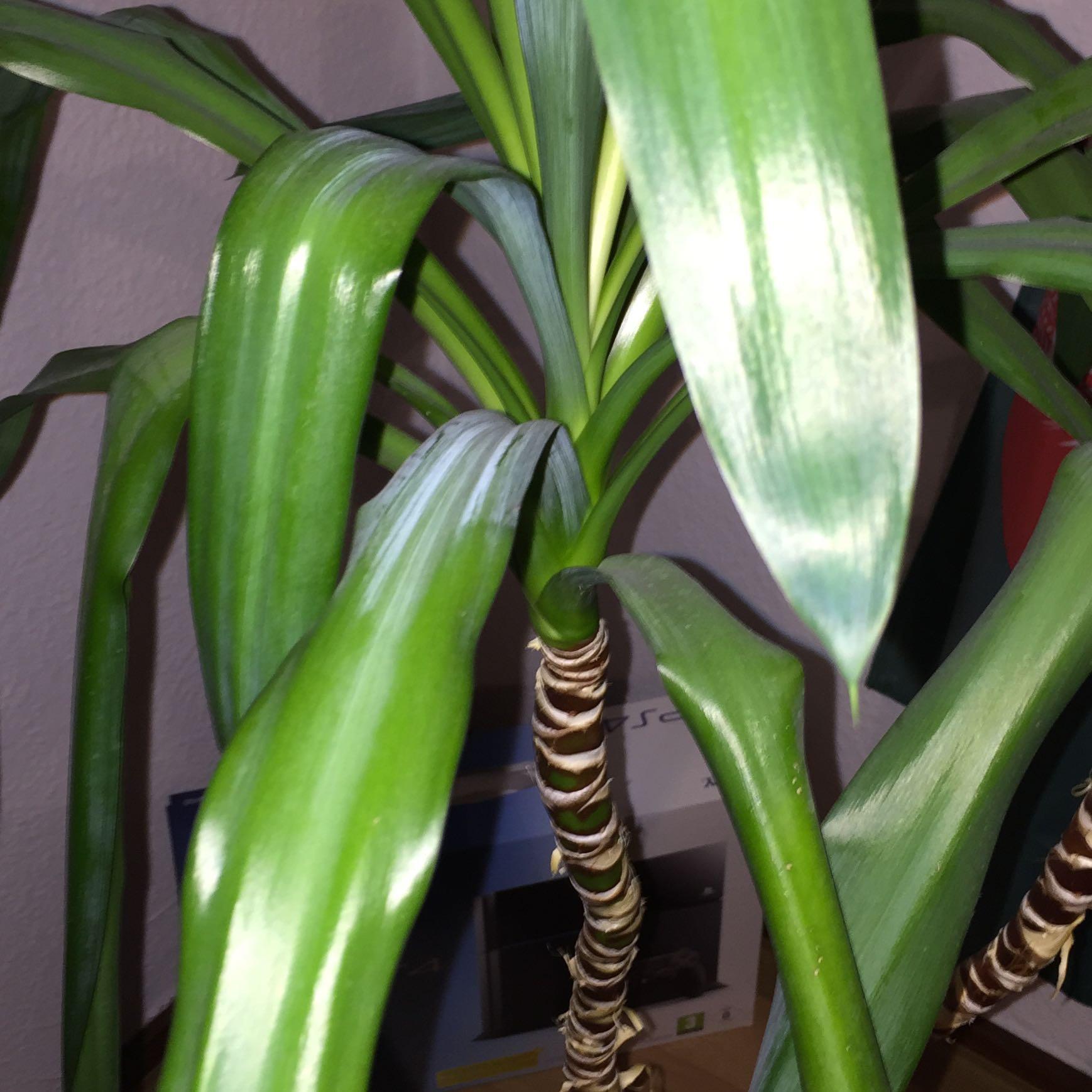 palme zimmerpflanze artownit for. Black Bedroom Furniture Sets. Home Design Ideas