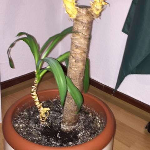 Stamm - (Botanik, Zimmerpflanzen, Palme)