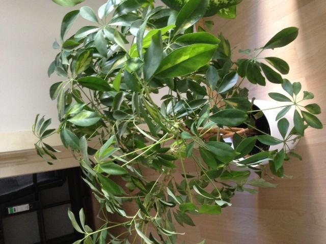 zimmerpflanze verliert die bl tter baum zimmerpflanzen g rtner. Black Bedroom Furniture Sets. Home Design Ideas