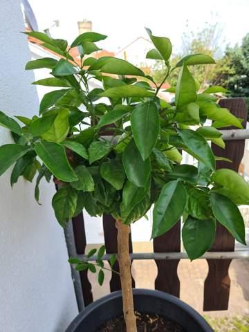 Zitronenbaum ist voller großer Fliegen und Wespen, was hilft?