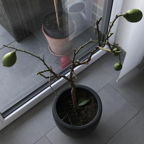 Zitronenbaum nach dem Zurückschneiden  - (Gesundheit und Medizin, Garten, Pflanzen)