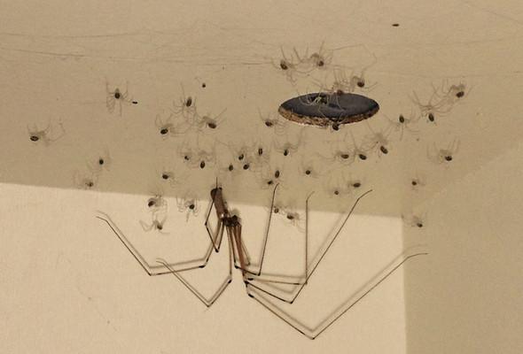 die spinnenmutter mit der seltsamen pose - (Tiere, Spinne, Spinnenart)
