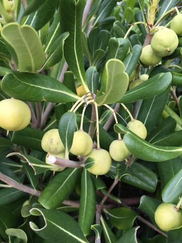 Olivengroße Früchte - (Biologie, Garten, Pflanzen)