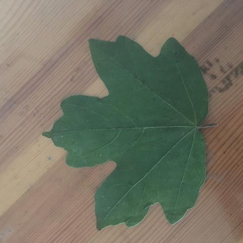 Blatt - (Biologie, Natur, Baum)