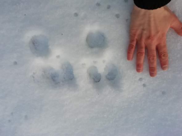 Zu welchem Tier gehören diese komischen Spuren?