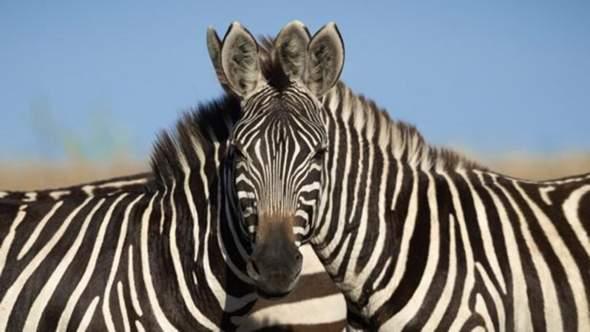Which zebra body does the head belong?
